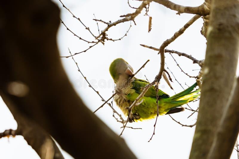 美丽的绿色鹦鹉在巴塞罗那命名了Monk长尾小鹦鹉坐树枝 库存照片