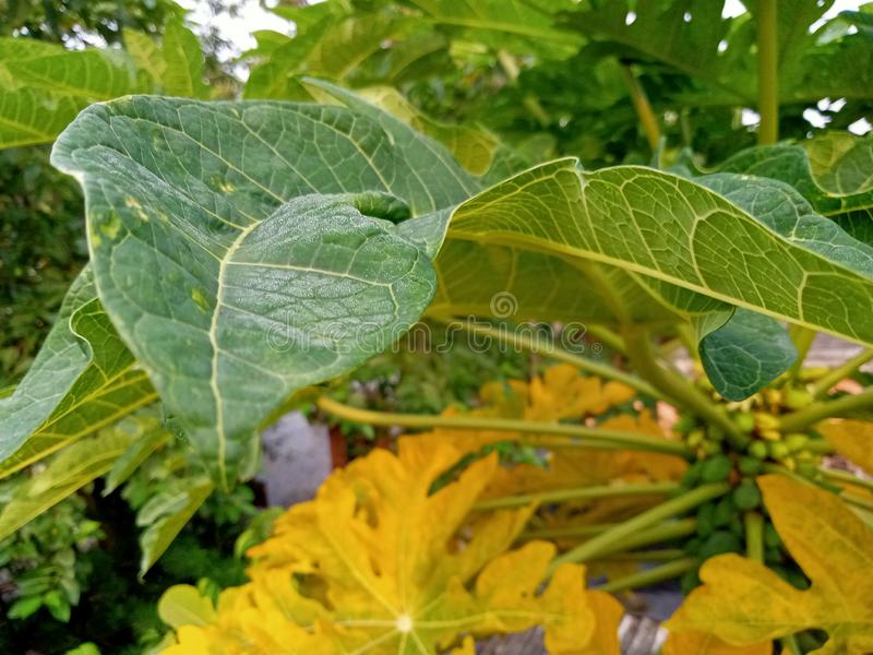 美丽的绿色黄色新鲜的叶子番木瓜 库存图片