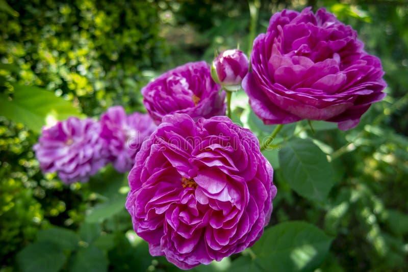 美丽的罗斯以一个被弄脏的绿色庭院为背景的de Rescht的豪华紫色头 免版税库存图片