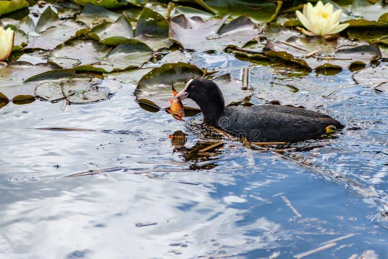 美丽的老傻瓜在有荷花和一个金鱼的一个池塘在它的额嘴 库存图片