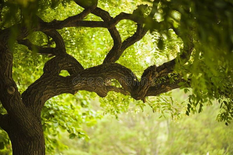 美丽的老结构树 免版税库存图片