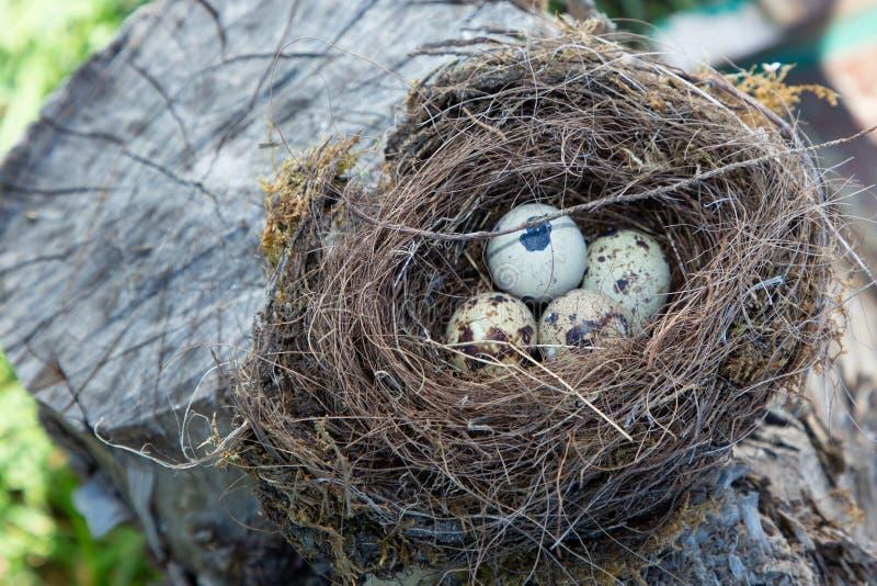 美丽的自然鸟在一棵树筑巢用鸡蛋 库存照片