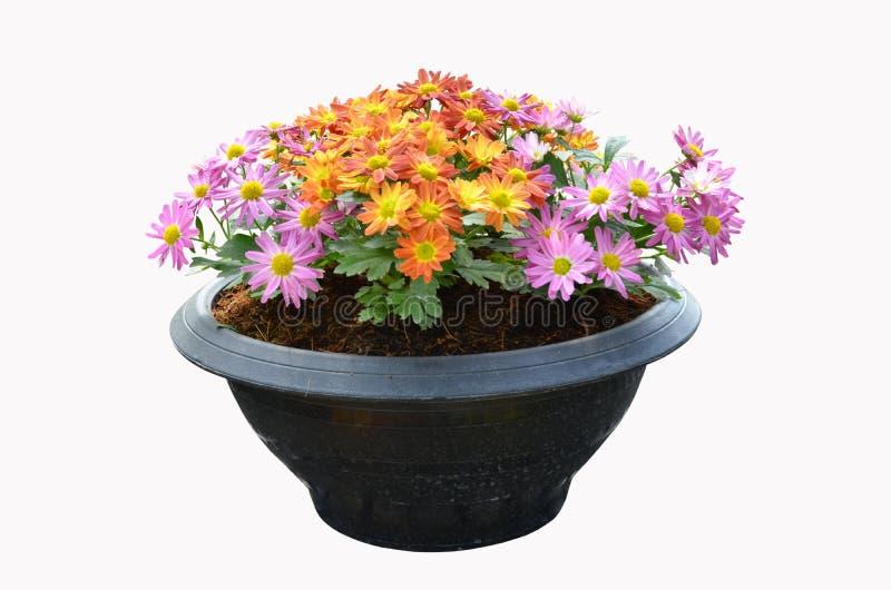 美丽的色的菊花花盆 库存照片