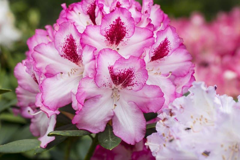 美丽的花、白色中心和桃红色边界 库存图片