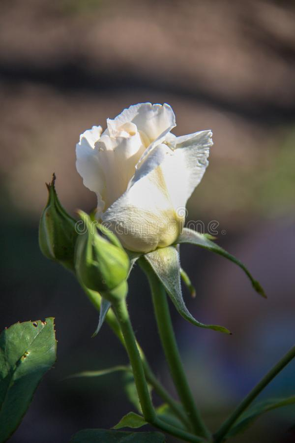 美丽的花上升了 库存图片