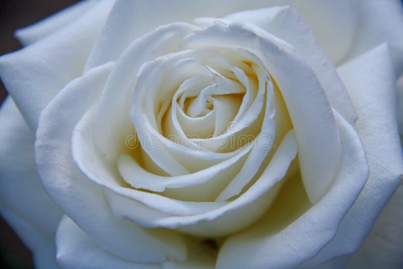 美丽的花上升了 免版税库存照片