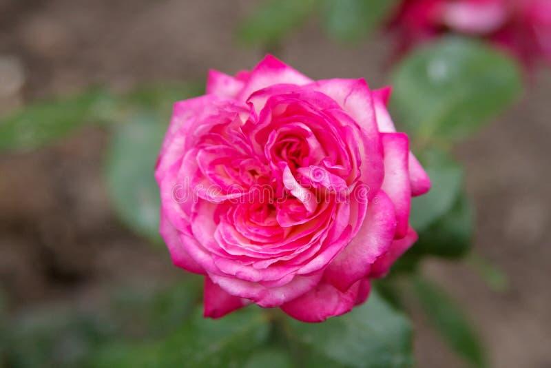美丽的花上升了 图库摄影