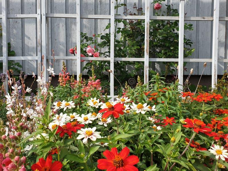美丽的花园有白色墙壁背景 桃红色玫瑰,红色和白色大丽花 在绽放的五颜六色的花床 库存照片