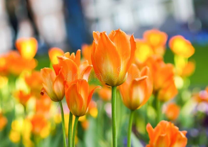 美丽的花园 明亮的郁金香在春天公园 与装饰植物的都市风景 图库摄影