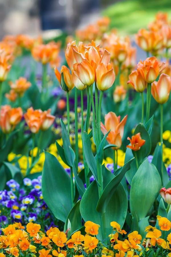 美丽的花园 明亮的郁金香在春天公园 与装饰植物的都市风景 库存照片
