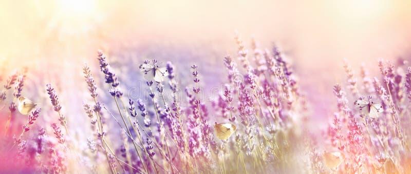 美丽的花园-淡紫色庭院和白色蝴蝶 免版税库存图片