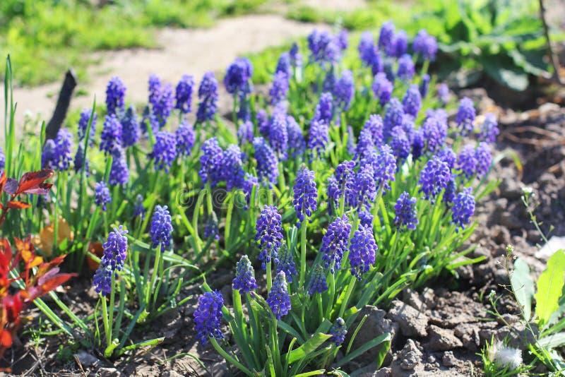 美丽的花在庭院里 穆斯卡里 免版税图库摄影