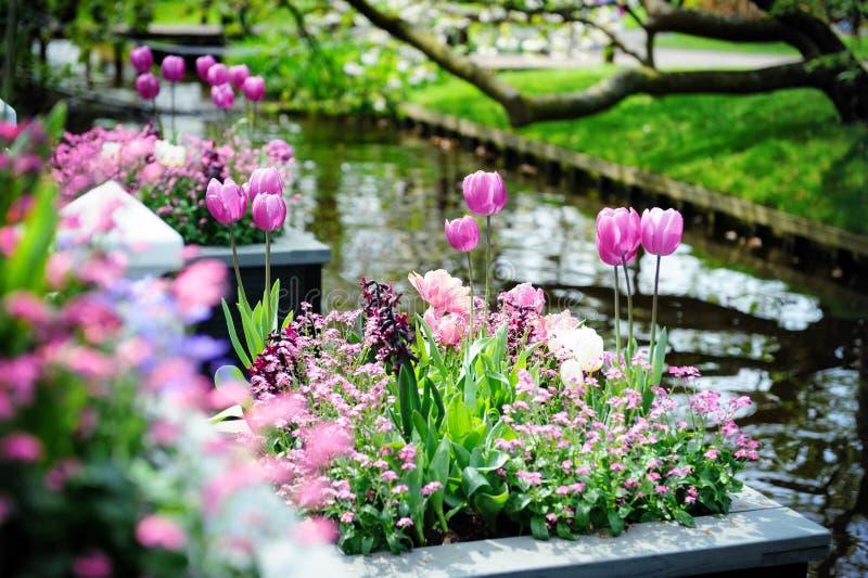 美丽的花在Keukenhof庭院里 库存照片