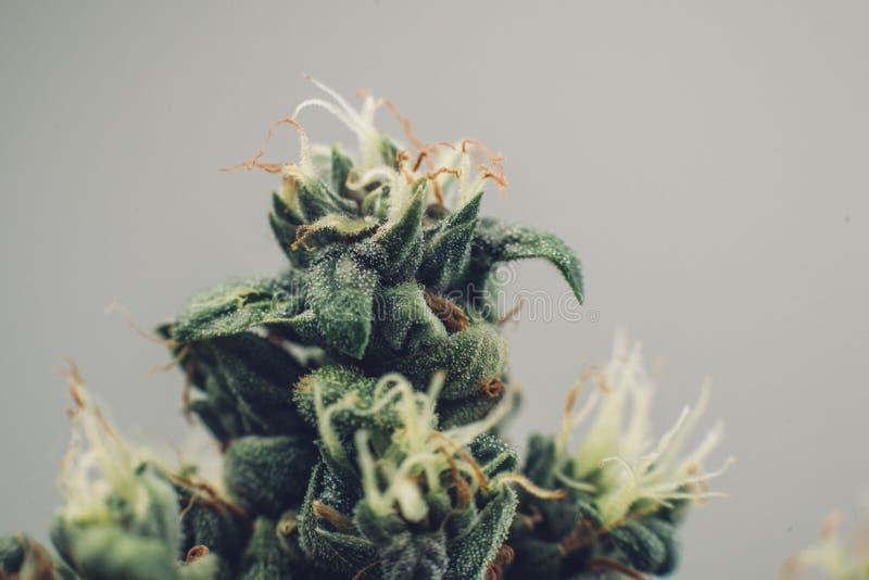 美丽的花大麻植物,医疗大麻发芽 库存图片
