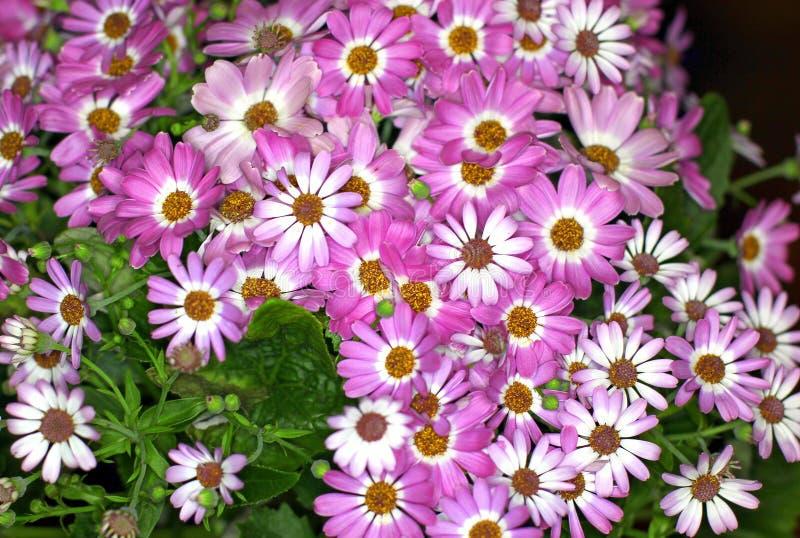 美丽的花束雏菊 库存图片