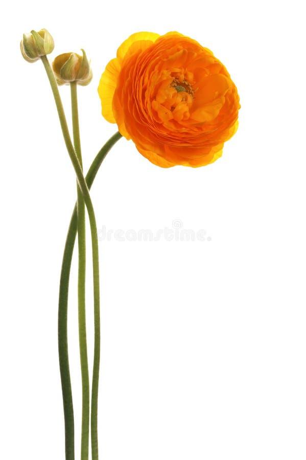 美丽的花桔子 免版税库存图片