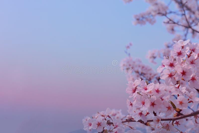 美丽的花樱花在春天软软地弄脏了背景 免版税库存图片