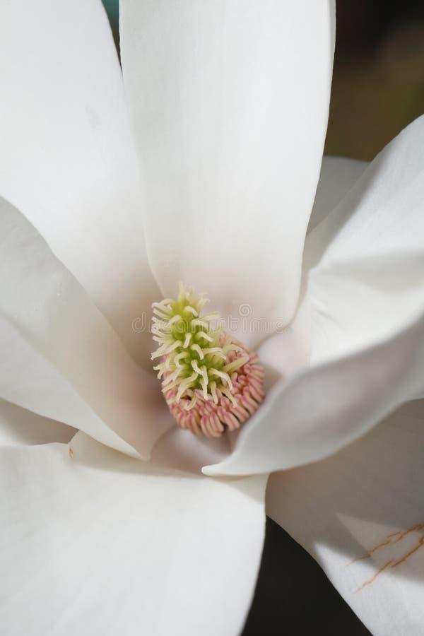 美丽的花白色木兰宏指令 垂直 免版税库存照片