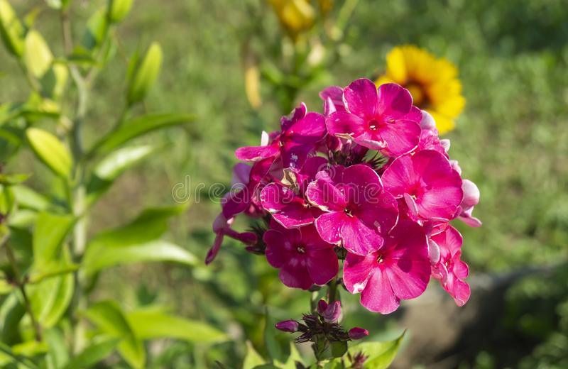 美丽的花福禄考在庭院里 库存图片