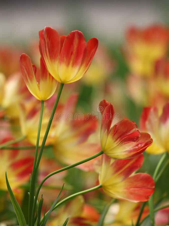 美丽的花红色郁金香 免版税库存图片