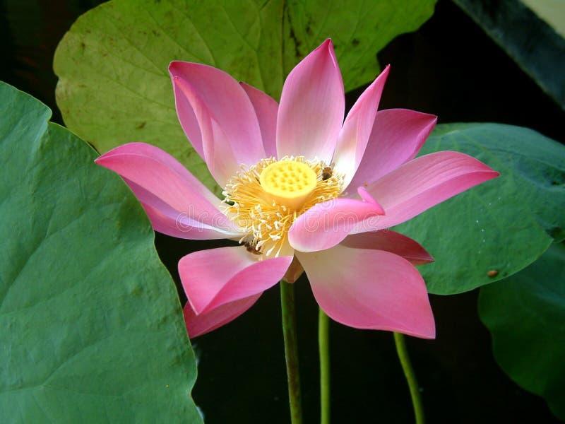 美丽的花莲花 免版税库存照片