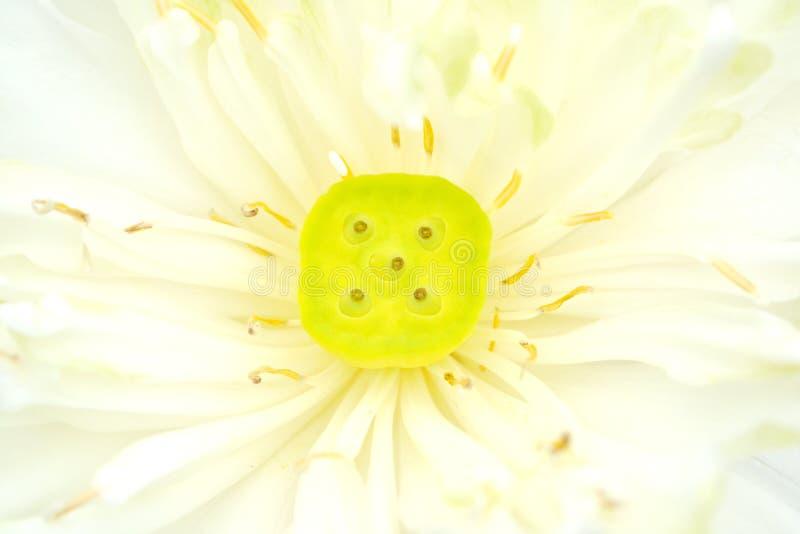美丽的花莲花 库存图片