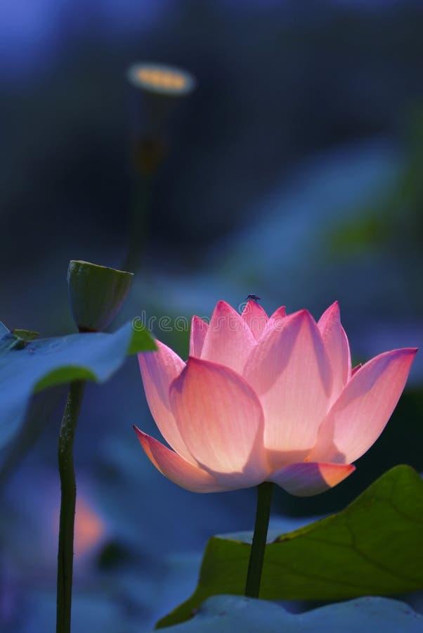 美丽的花莲花 免版税库存图片