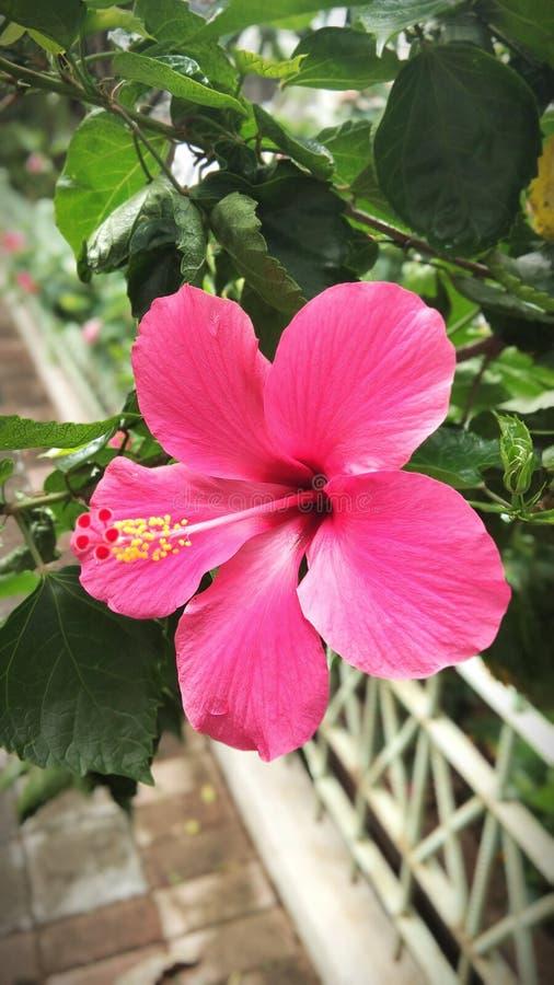 美丽的花这是木槿rosemallows 库存照片
