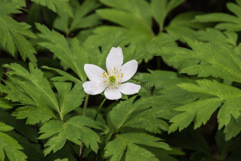 美丽的花银莲花属sylvestris (Snowdrop) 免版税库存图片