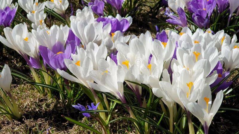 美丽的花首先反弹在公园丁香的在绿草美丽的开花花卉自然背景的番红花和白色 库存照片