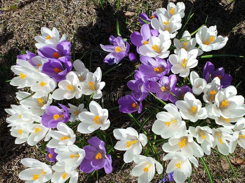 美丽的花首先反弹在公园丁香的在绿草美丽的开花花卉自然背景的番红花和白色 免版税库存照片