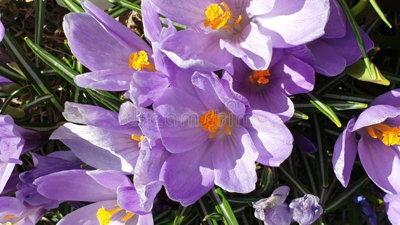 美丽的花首先反弹在公园丁香的在绿草美丽的开花花卉自然背景的番红花和白色 免版税图库摄影