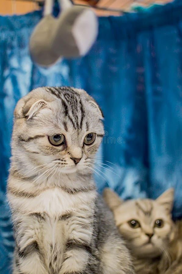 美丽的英国与小猫的折叠银色镶边猫 r 库存图片