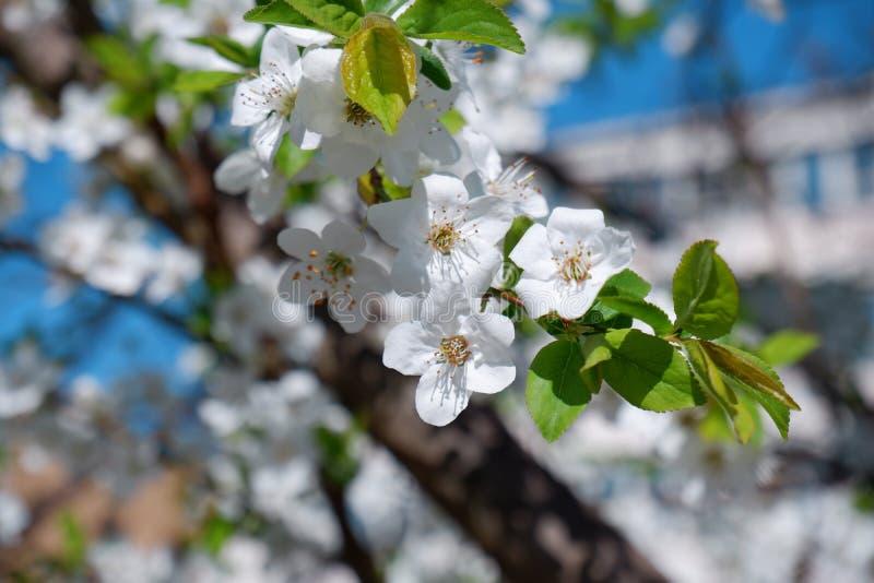 美丽的苹果树开花接近的看法  库存照片