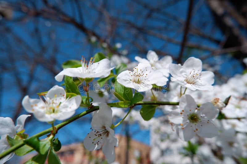 美丽的苹果树开花接近的看法  库存图片