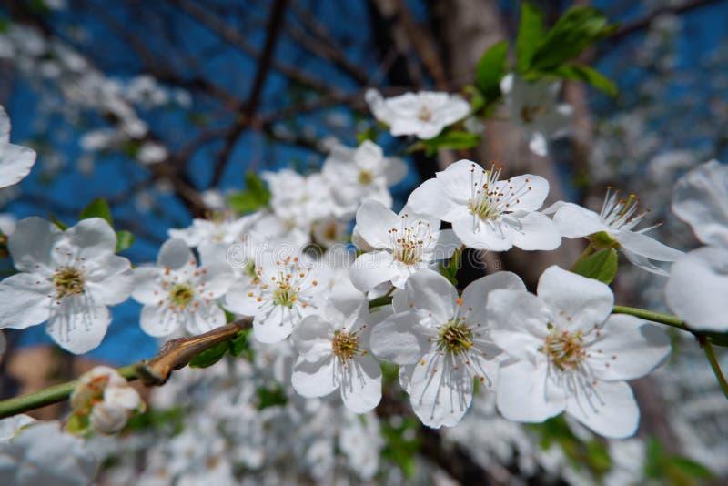 美丽的苹果树开花接近的看法  图库摄影
