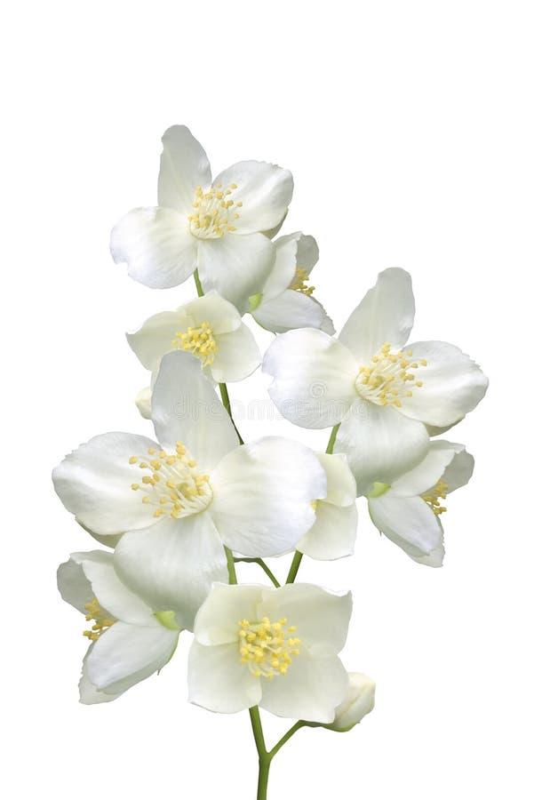 美丽的茉莉花开花与在白色隔绝的叶子 免版税图库摄影
