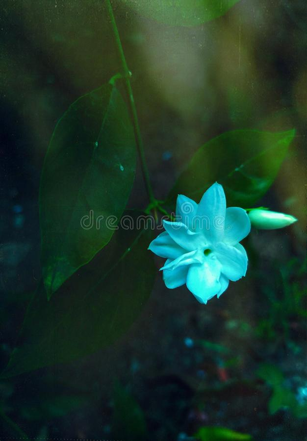 美丽的茉莉花花和芽的一张经典图片有叶子的 免版税库存照片