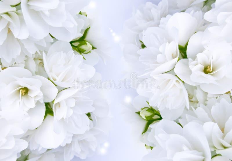 美丽的茉莉花 免版税库存照片