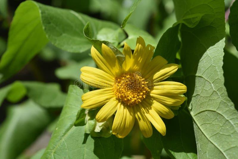 美丽的草本黄色花称豹子诅咒 免版税库存照片