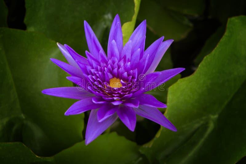 美丽的莲花,紫色和黄色 库存照片