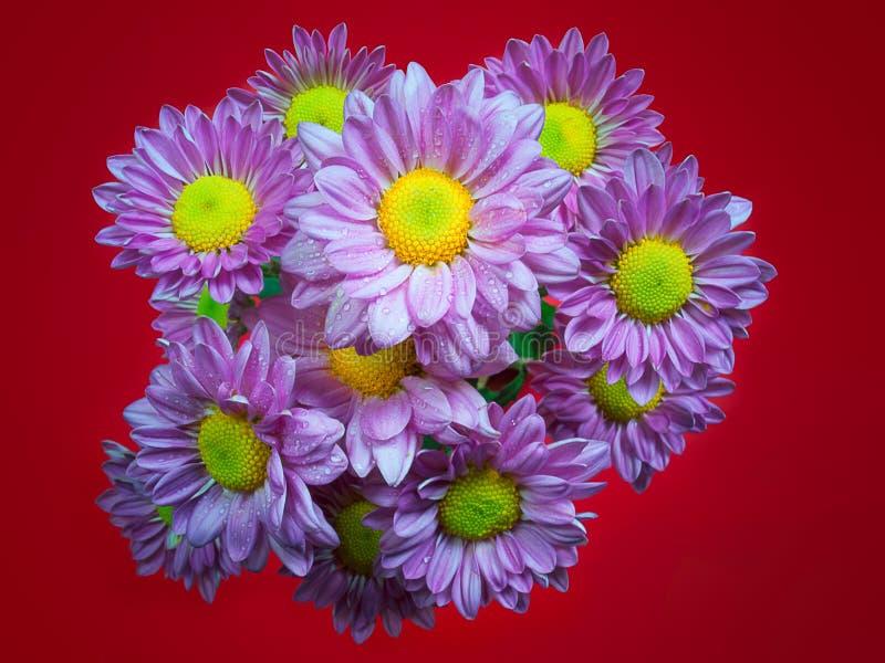 美丽的菊花当背景图片 免版税库存图片