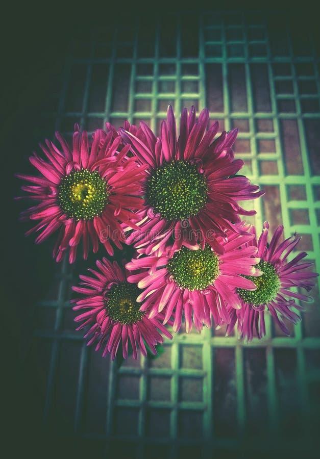 美丽的菊花的一个艺术性的图象 免版税图库摄影