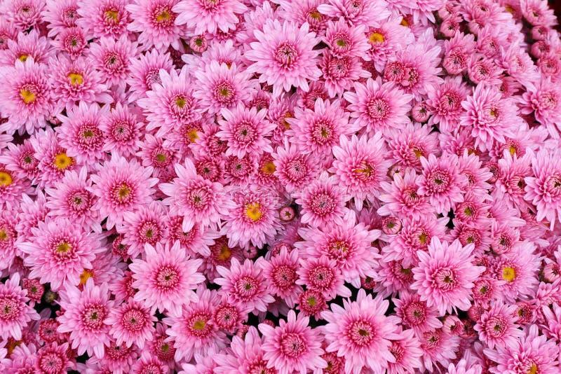 美丽的菊花花束开花户外 菊花在庭院里 五颜六色的花chrisanthemum 蝴蝶下落花卉花重点模式黄色 库存照片