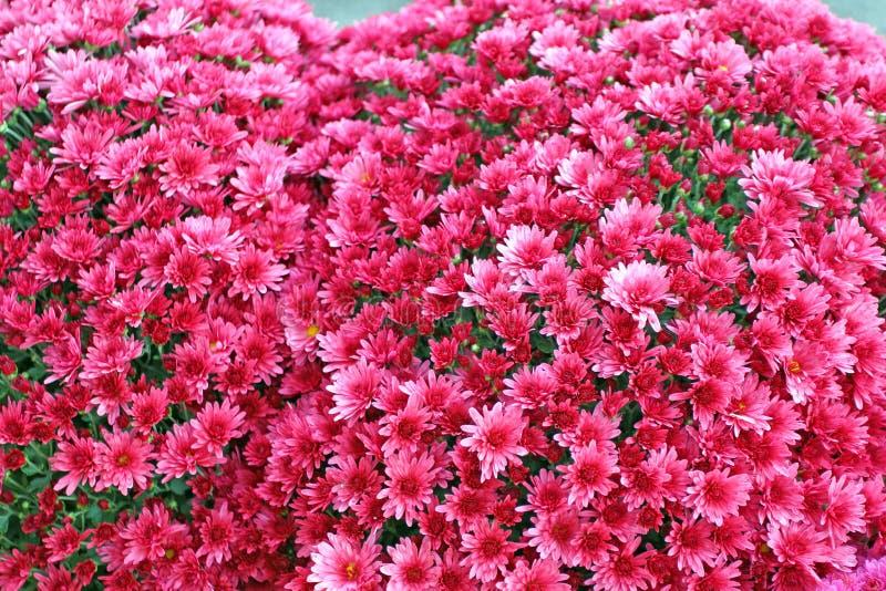美丽的菊花花束开花户外 菊花在庭院里 五颜六色的花chrisanthemum 蝴蝶下落花卉花重点模式黄色 免版税库存图片