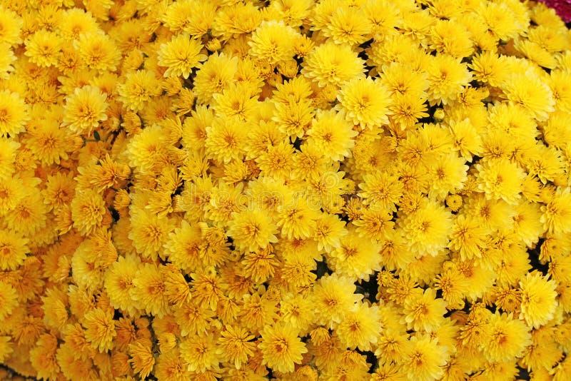 美丽的菊花花束开花户外 菊花在庭院里 五颜六色的花chrisanthemum 蝴蝶下落花卉花重点模式黄色 免版税图库摄影