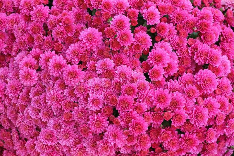 美丽的菊花花束开花户外 菊花在庭院里 五颜六色的花chrisanthemum 蝴蝶下落花卉花重点模式黄色 免版税库存照片