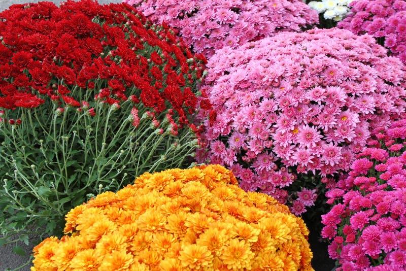 美丽的菊花花束开花户外 菊花在庭院里 五颜六色的花chrisanthemum 蝴蝶下落花卉花重点模式黄色 图库摄影