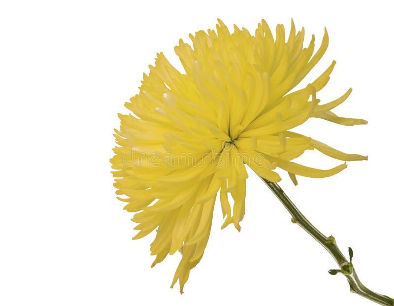 美丽的菊花花,隔绝在白色 免版税库存图片