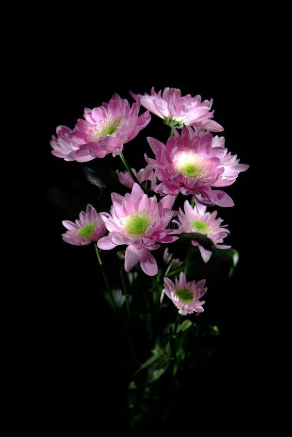 美丽的菊花花 免版税库存图片